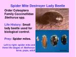 spider mite destroyer lady beetle