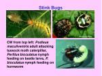 stink bugs29