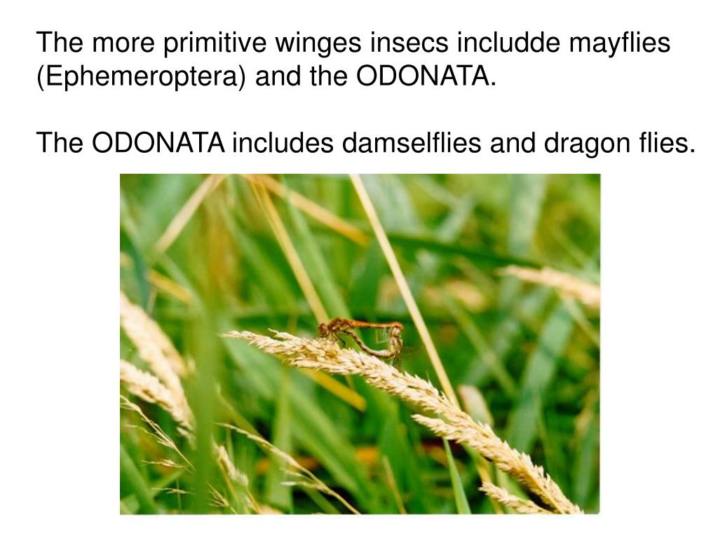 The more primitive winges insecs includde mayflies (Ephemeroptera) and the