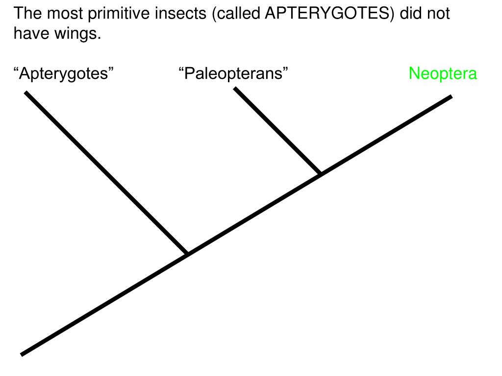 The most primitive insects (called APTERYGOTES) did not have wings.