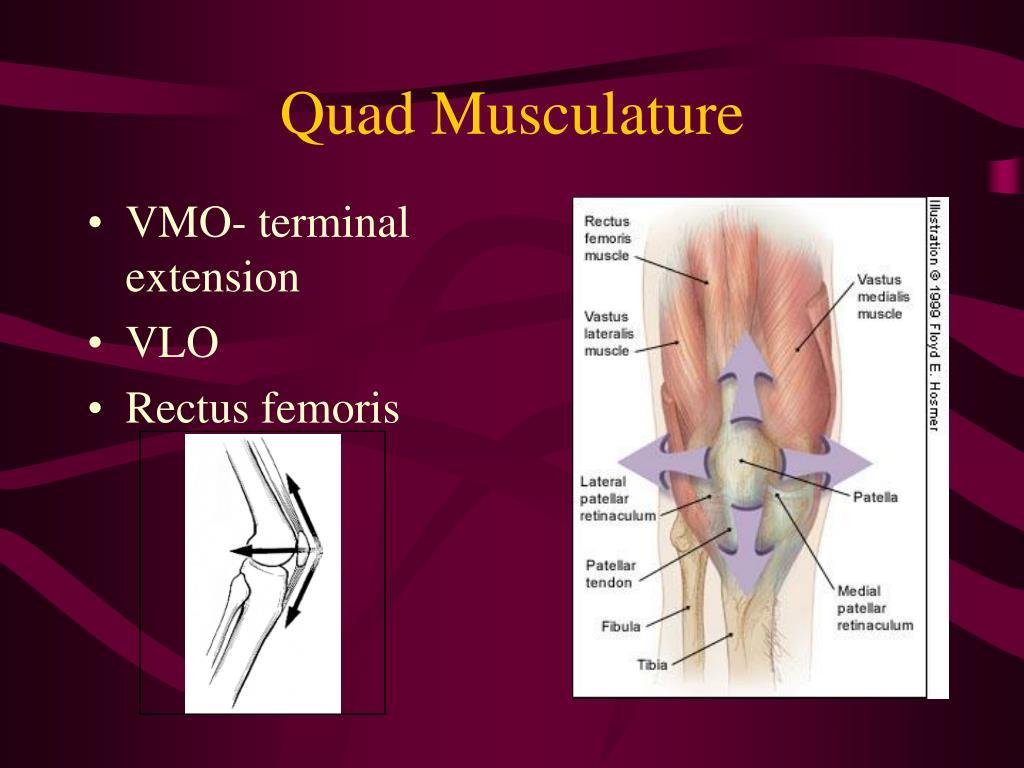 Quad Musculature
