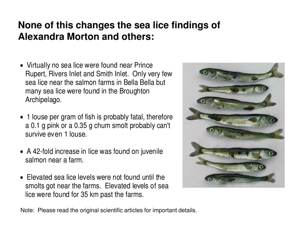 None of this changes the sea lice findings of             Alexandra Morton and others: