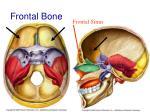 frontal bone37