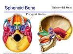 sphenoid bone47
