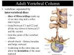 adult vertebral column40