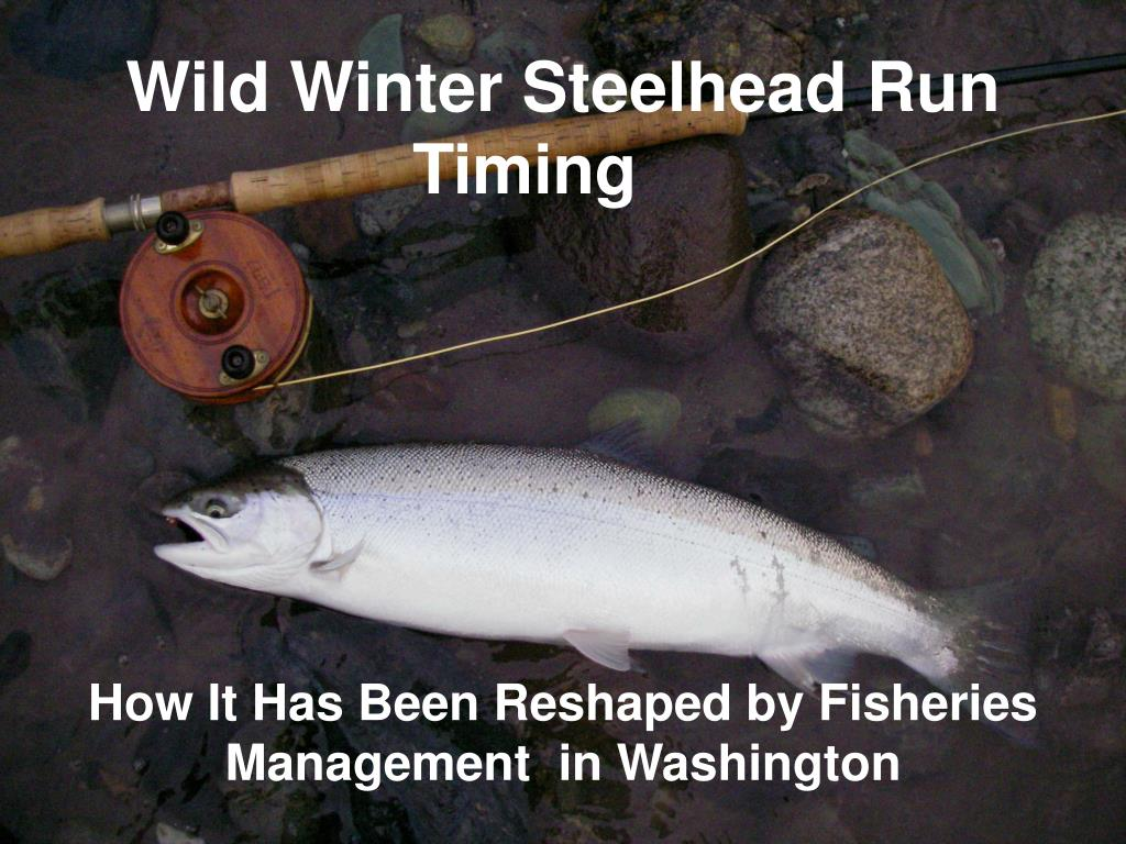 wild winter steelhead run timing l.
