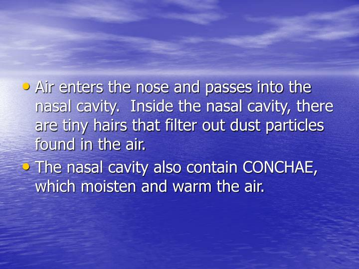 Air enters the nose and passes into the nasal cavity.  Inside the nasal cavity, there are tiny hairs that filter out dust particles found in the air.