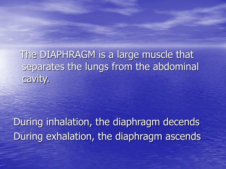 The DIAPHRAGM is a large muscle that separates the lungs from the abdominal cavity.