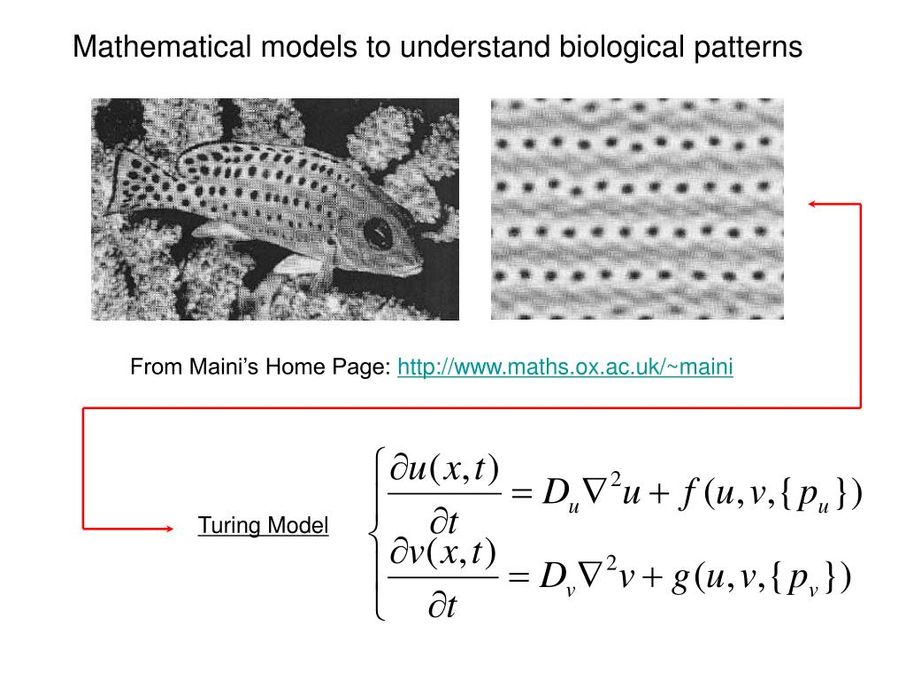 Mathematical models to understand biological patterns