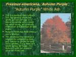 fraxinus americana autumn purple autumn purple white ash