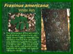 fraxinus americana white ash2