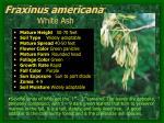 fraxinus americana white ash3