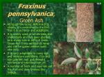 fraxinus pennsylvanica green ash8