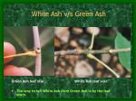 white ash v s green ash