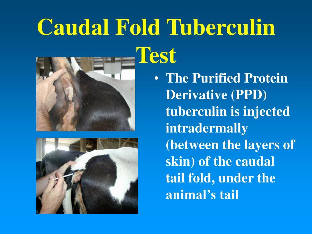 Caudal Fold Tuberculin Test