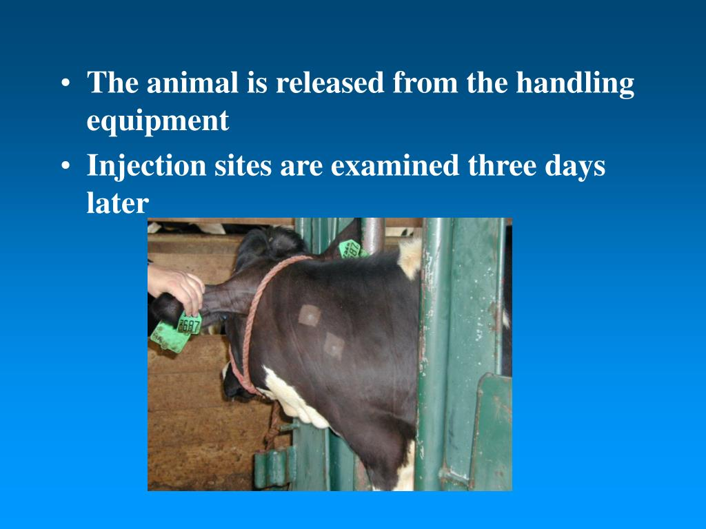 The animal is released from the handling equipment