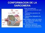 conformacion de la sarcomera
