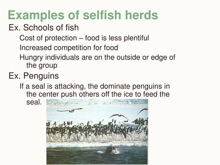 Examples of selfish herds