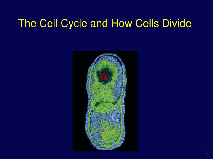 the cell cycle and how cells divide n.