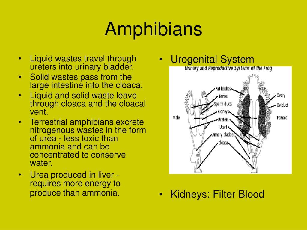 Liquid wastes travel through ureters into urinary bladder.