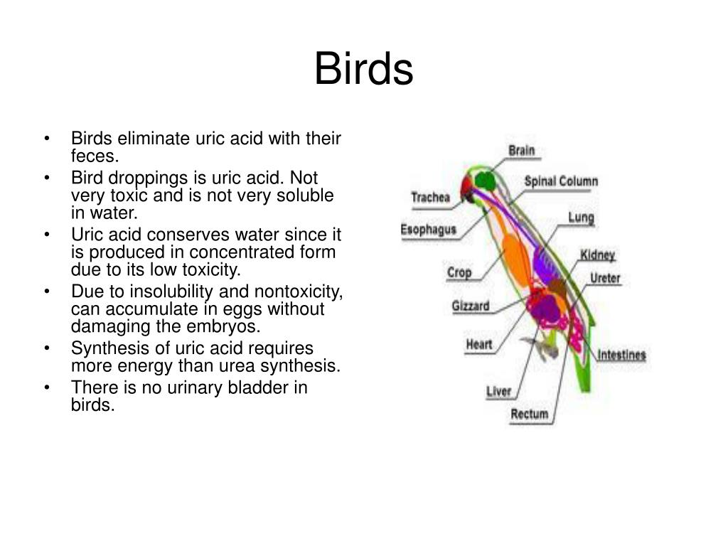 Birds eliminate uric acid with their feces.