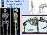 human pelvis still has quadruped orientation