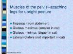muscles of the pelvis attaching legs for upright posture
