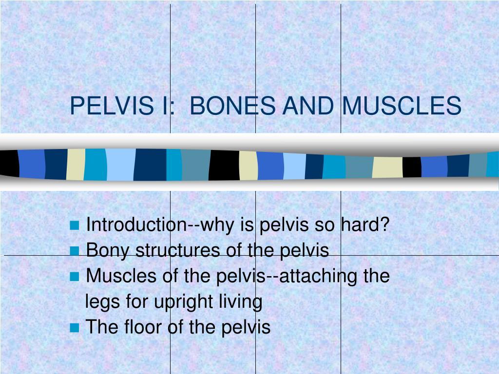 pelvis i bones and muscles l.