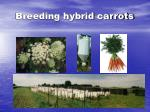 breeding hybrid carrots
