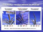 fertility restoration in maize