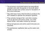 the mammalian excretory system39