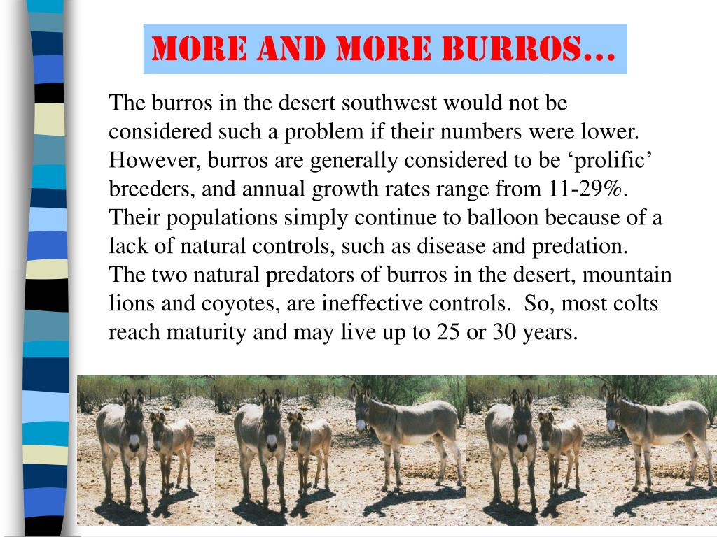 more and more burros…