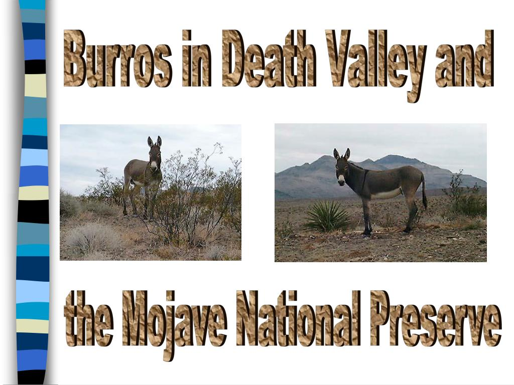 Burros in Death Valley and