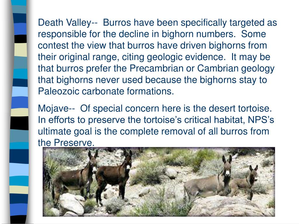 Death Valley--  Burros have been specifically targeted as responsible for the decline in bighorn numbers.  Some contest the view that burros have driven bighorns from their original range, citing geologic evidence.  It may be that burros prefer the Precambrian or Cambrian geology that bighorns never used because the bighorns stay to Paleozoic carbonate formations.