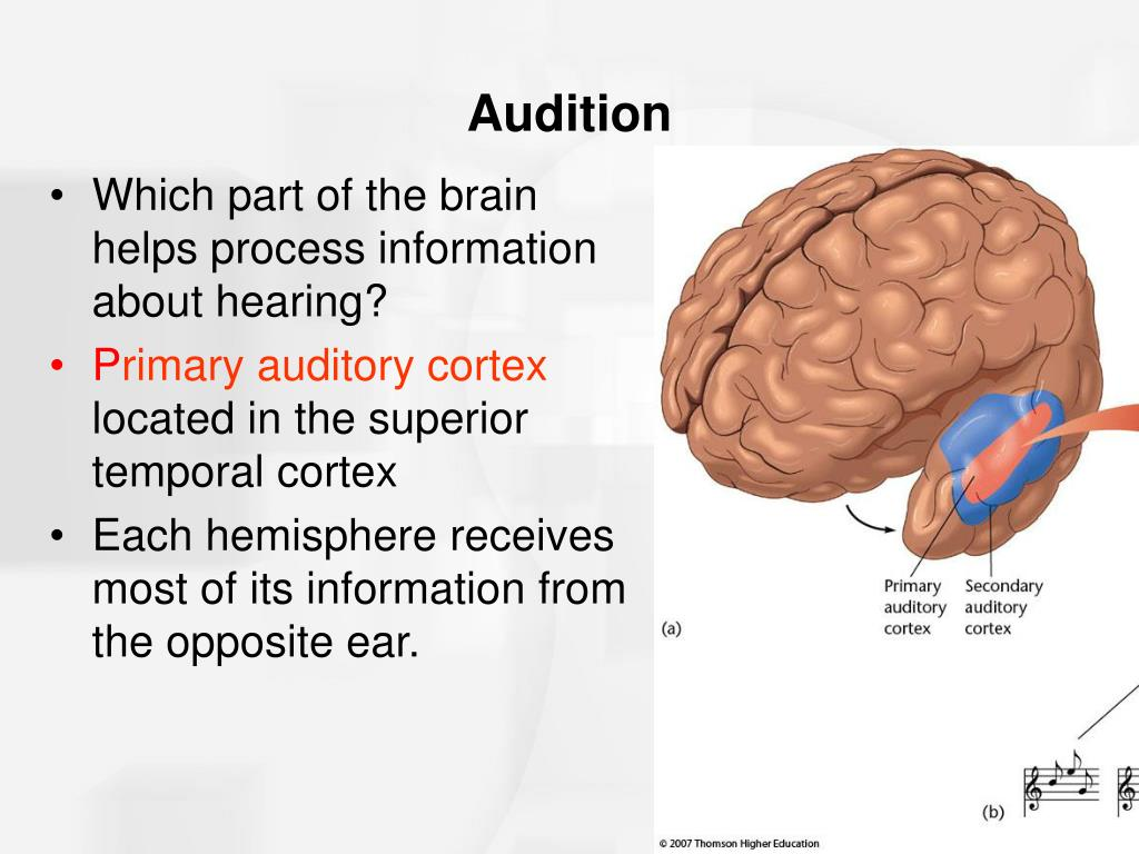 Which part of the brain helps process information about hearing?