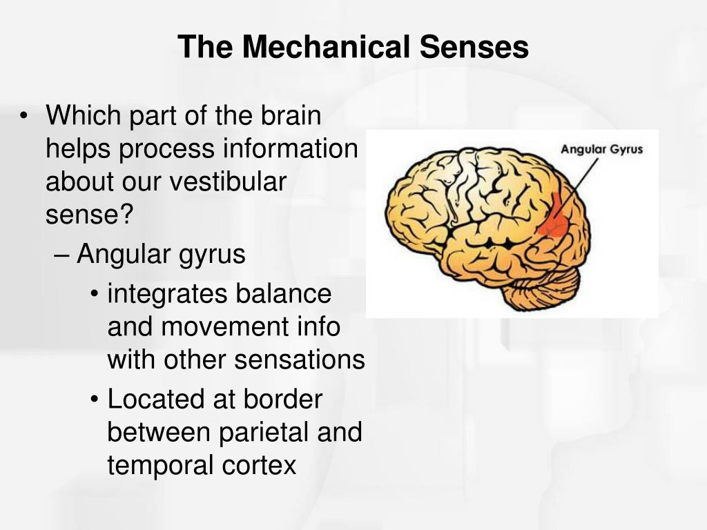 Which part of the brain helps process information about our vestibular sense?