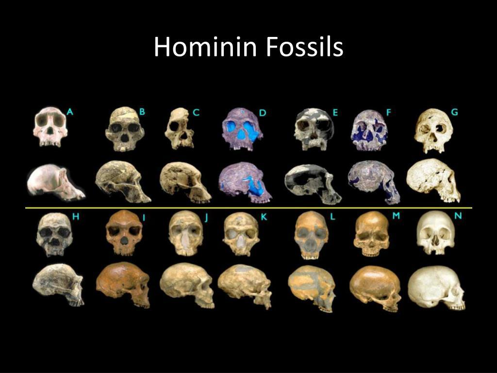 hominin fossils l.