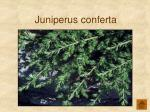 juniperus conferta125