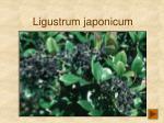 ligustrum japonicum134