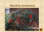 nandina domestica158