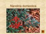 nandina domestica159