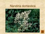 nandina domestica160