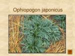 ophiopogon japonicus165