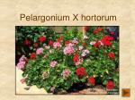pelargonium x hortorum168