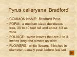 pyrus calleryana bradford