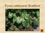 pyrus calleryana bradford191