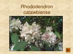rhododendron catawbiense203
