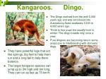 kangaroos dingo