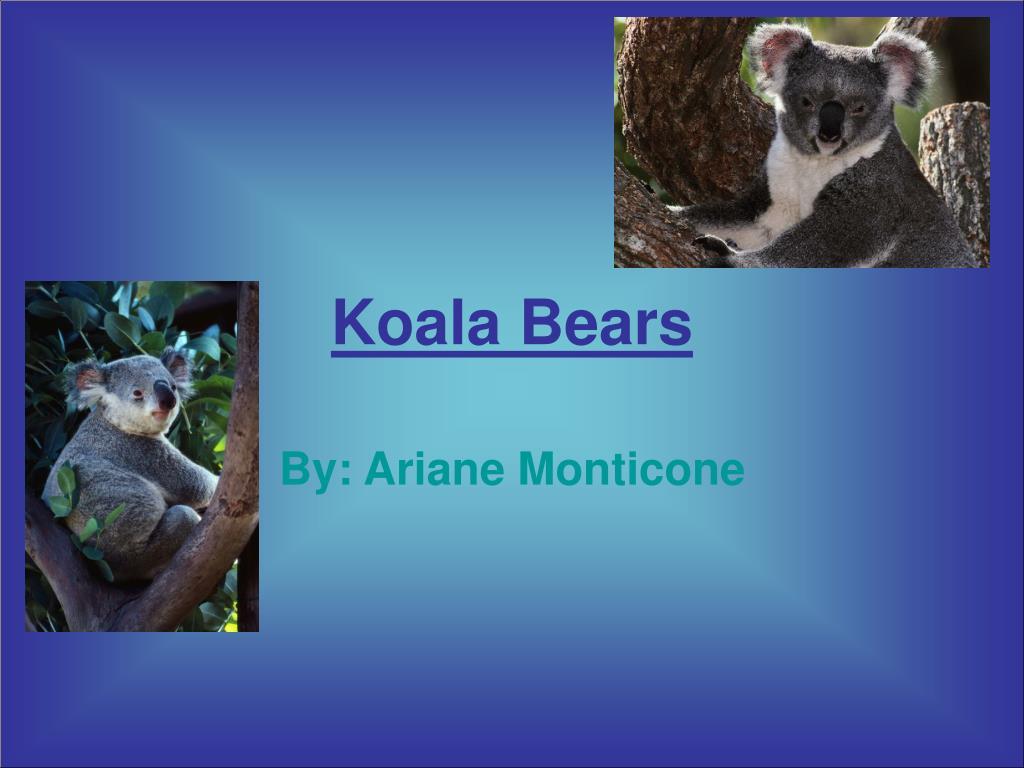 koala bears l.