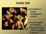 azalea gall15